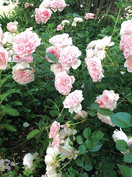 Rose blom in die tuin van Johan en Anna du Plessis in die Kango Valleie. Hul tuin was die afgelope jare een van die hoogtepunte van die jaarlikse Tuinsafari in dié gebied.  Foto verskaf
